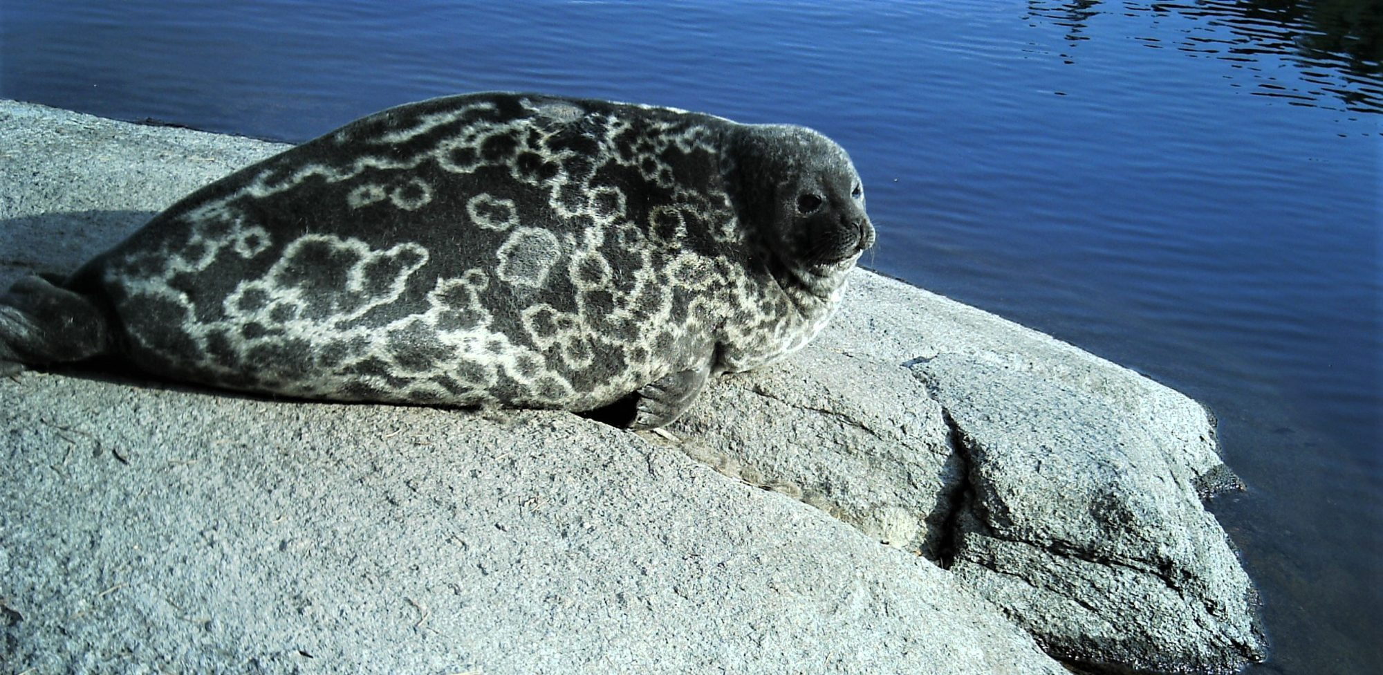 Ringed Seal Research